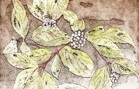 red-osier-dogwood