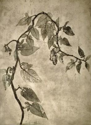 Climbing Nightshade (Solanum dulcamara)
